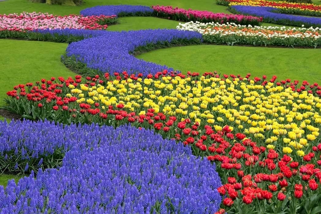 A tulip Rainbow