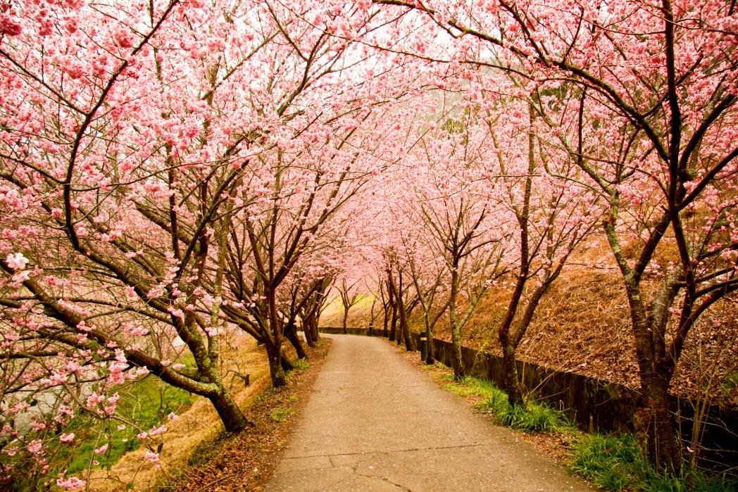 Boulevard of cherry blossom trees
