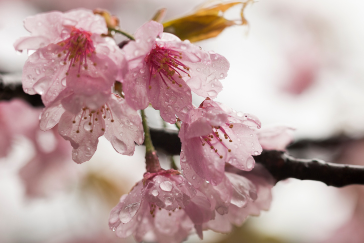The beauty of Cherry Blossoms will astonish you
