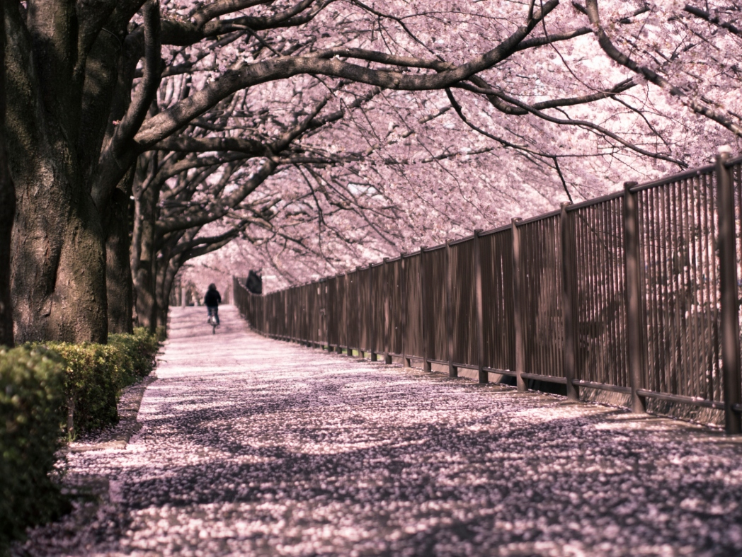 Streets covered in Cherry Blossom