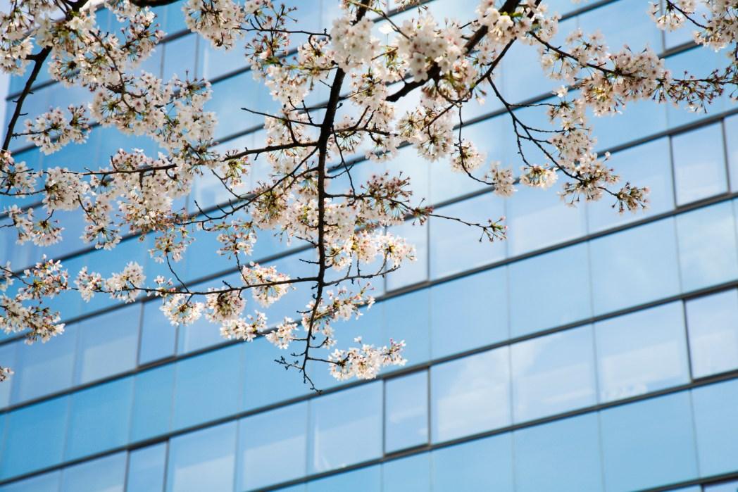 Cherry blossoms against an urban skyscraper