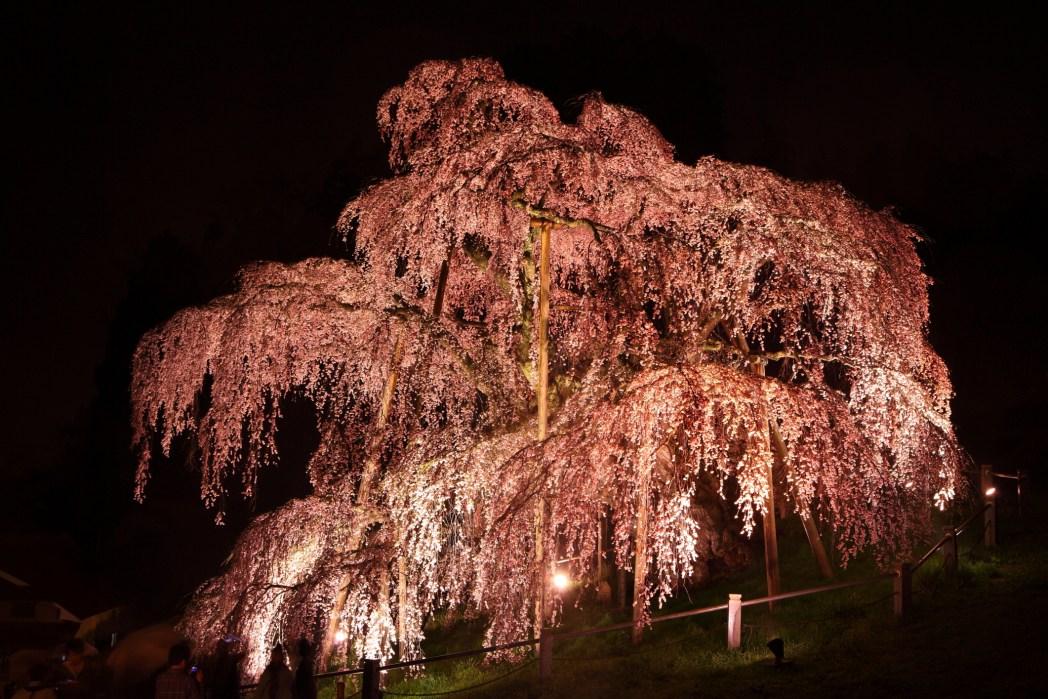 Japan's oldest cherry tree lit up in full bloom