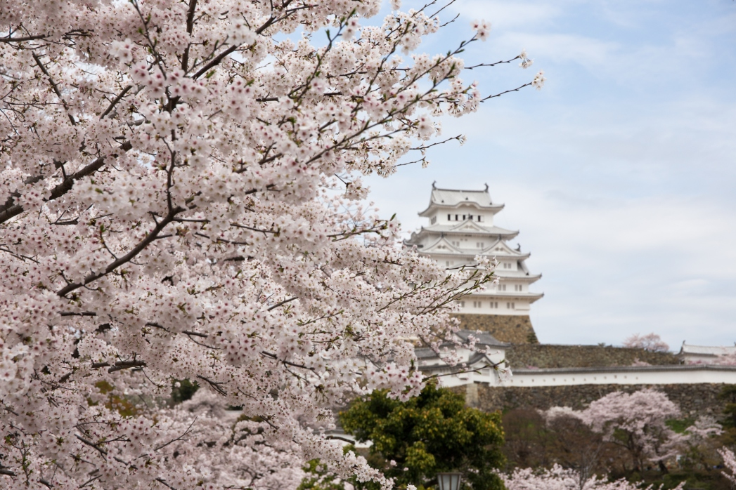 Himeji castle against the foreground of cherry trees