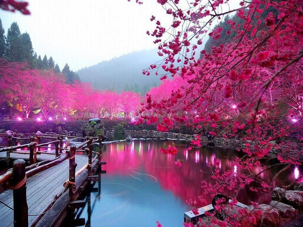 herry Blossoms blooming around Lake Sakura. Image: Cruiseabout.com