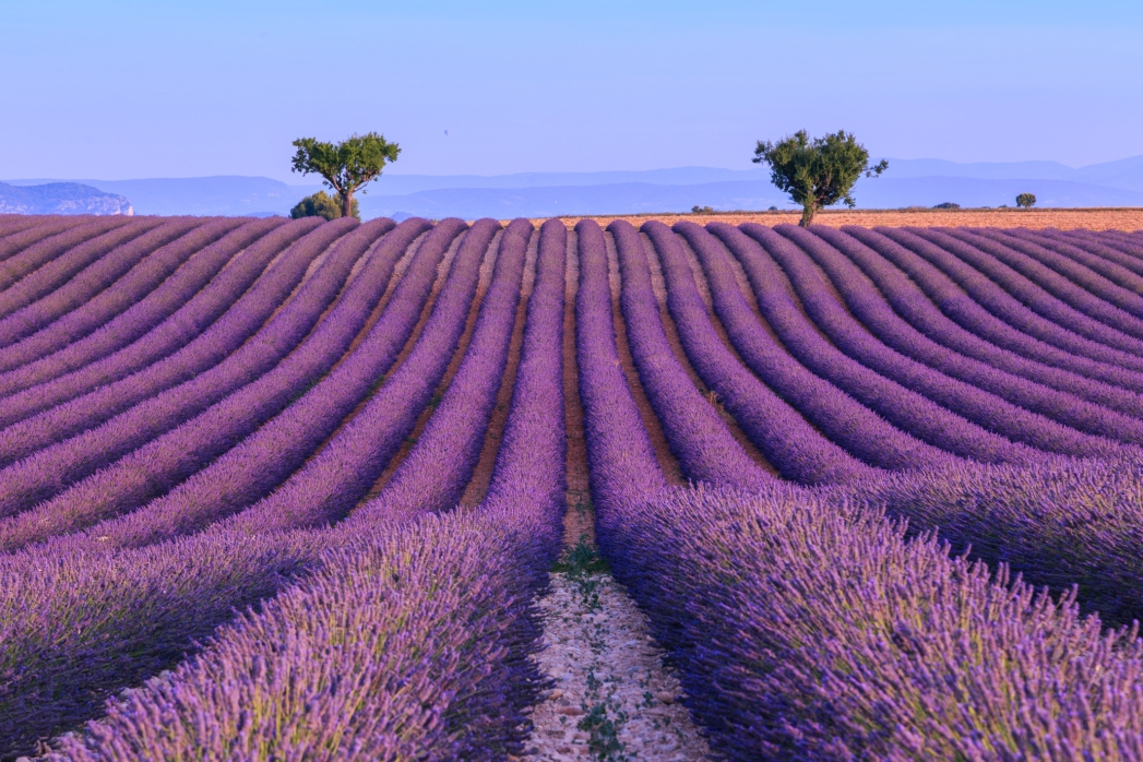 Endless view of lavender fields in the summer in Provence, France