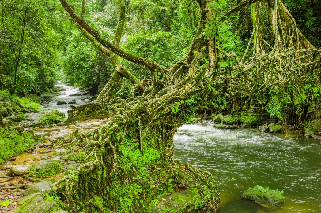 A Living root bridge in a village in Meghalaya