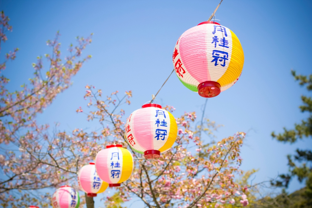 Cherry blossom trees with lanterns