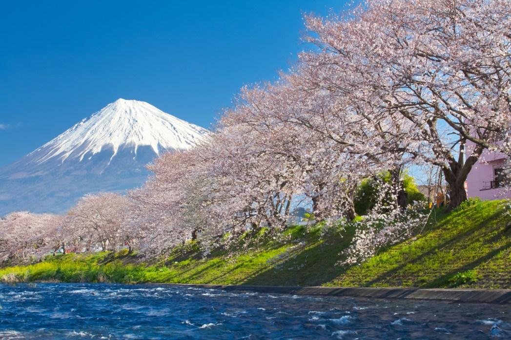 Sakura with Mount Fuji in the background