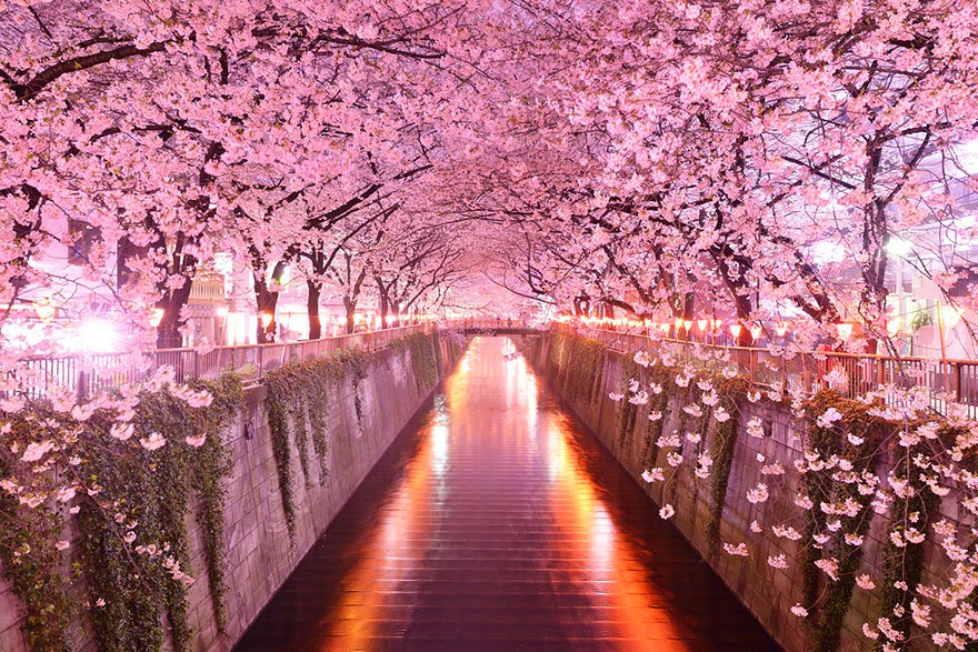 Tree tunnel formed by cherry blossom trees. Image: Earthporm.com